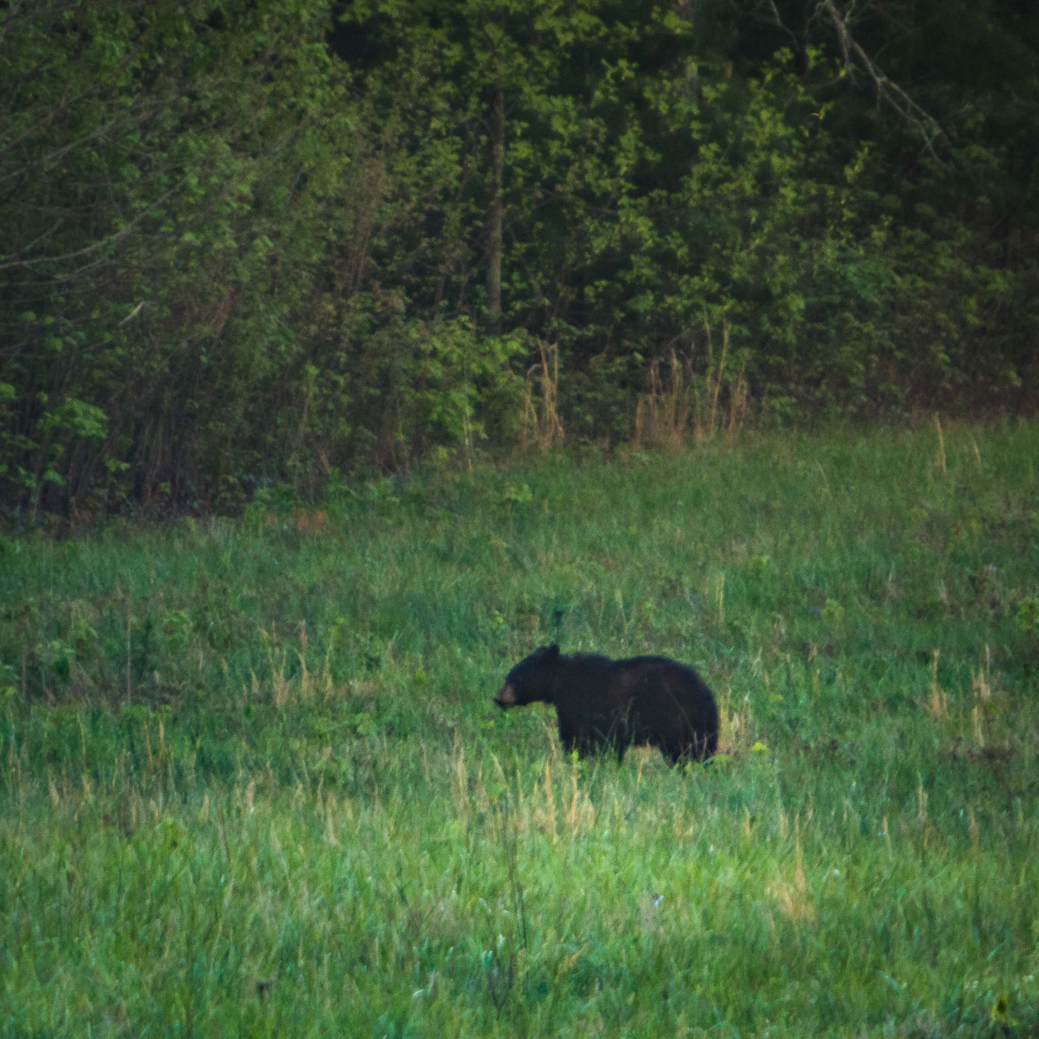 Black Bear in GSMNP